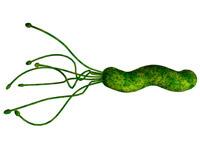 <em>Helicobacter pylori 1 - 10 μm</em>