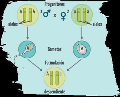 Genotipo Y Fenotipo Portal Academico Del Cch