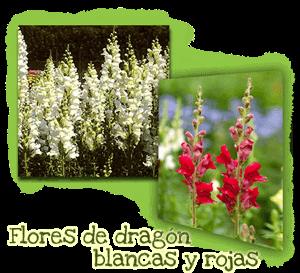 Flores Dragón