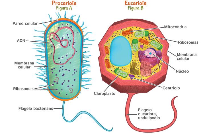 Resultado de imagen de célula procariota y eucariota