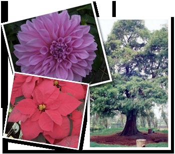 La dalia, la nochebuena y el ahuehuete, símbolos de la flora nacional