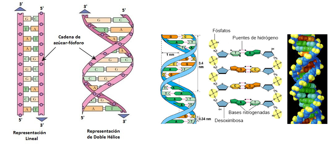 Nucleótido de ADN y Nucleótido de ARN