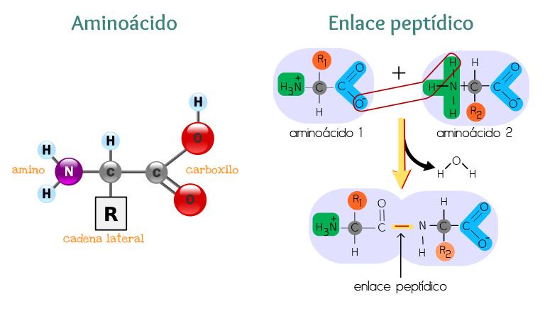 Aminoácido y Enlace peptídico