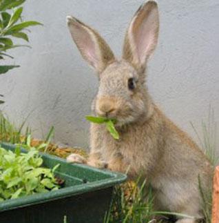 El conejo es un consumidor primario o herbívoro.