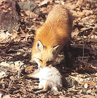 El zorro es un consumidor secundario o carnívoro.