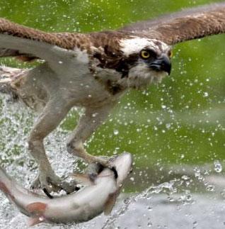 El águila es un consumidor terciario o carnívoro.