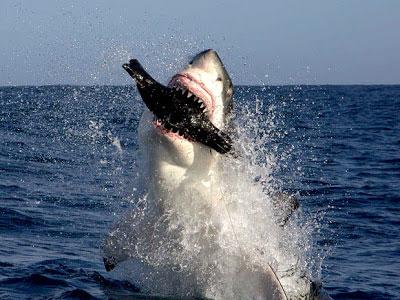 El tiburón blanco es un consumidor terciario o carnívoro.