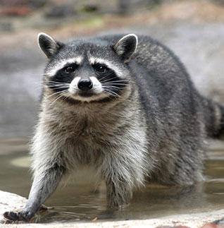 El mapache es un consumidor omnívoro.