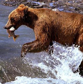 El oso pardo es un consumidor omnívoro.