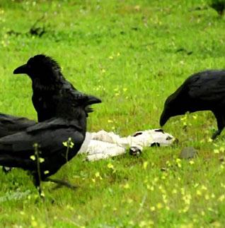 Los cuervos son consumidores omnívoros.