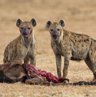 Las hienas son consumidores carroñeros.